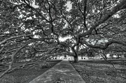 A.m Photos - Under the Century Tree - Black and White by David Morefield