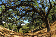 Lafayette Prints - Under The Oak Canopy Print by Donna Blackhall