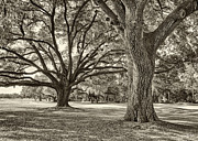 Golf Holes Framed Prints - Under The Oaks Sepia Toned Framed Print by Phill  Doherty