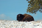 American Bison Prints - Under the Pines Print by Dakota Light Photography by Nadene