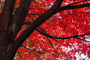 Reds Of Autumn Acrylic Prints - Under the Reds Acrylic Print by Rachel Cohen