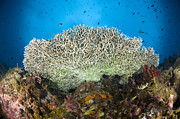 New Britain Photo Prints - Underside Of A Table Coral, Papua New Print by Steve Jones