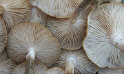 Medium Group Of People Posters - Underside Of Mushrooms Poster by Greg Adams Photography