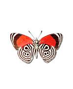 Underside Of The Meadow Wanderers Butterfly Print by MajchrzakMorel