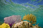 Fan Coral Framed Prints - Underwater View Of A Coral Reef Framed Print by Michael Melford