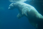 Polar Bear (ursus Maritimus) Posters - Underwater View Of A Polar Swimming Poster by Ralph Lee Hopkins