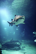 Large Group Of People Posters - Underwater View Of Shark And Tropical Fish Poster by Rich Lewis