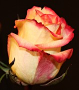 Peach Roses Prints - Unfolding Beauty Print by Cathie Tyler