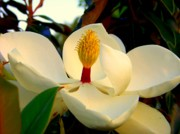 White Magnolias Posters - Unfolding Beauty Poster by Karen Wiles