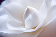 Unfolding Camellia Print by Julia Hiebaum