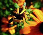 Flower Design Photos - Unfolding by Rona Black