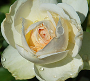 Wet Rose Prints - Unfolding Print by Suzanne Gaff