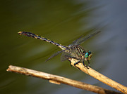 Insect Photos - Unicorn Clubtail by Jeremy Martin