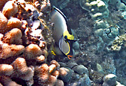 Colorful Tropical Fish  Photos - Unicornfish by Bette Phelan