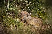 Squirrel Originals - Unita Ground Squirrel by Chad Davis