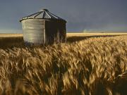 Shed Metal Prints - United States, Kansas Wheat Field Metal Print by Keenpress