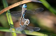 Dragonflies Mating Photos - Unity by Fraida Gutovich