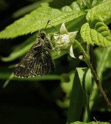 Winged Art - Unknown Skipper by Thomas Young