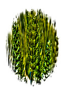 Beards Digital Art Prints - Unripened Wheat II Print by David Patterson