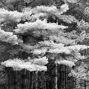 Pine Trees Metal Prints - Untitled Metal Print by Dale Kincaid