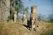 Endangered Cheetahs Art - Untitled by Volkmar K. Wentzel