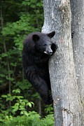 Black Bear Climbing Tree Posters - Up a Tree Poster by Janara  Hoppock