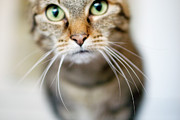 Green Eyes Photos - Up Close Brown Striped Cat by Charity Burggraaf