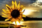 Sun Flower Framed Prints - Up Lit Framed Print by Karen M Scovill