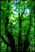 Tree Ferns Digital Art - Up Through the Trees by Kathy Sampson