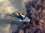 Colorful Tropical Fish  Photos - Upclose with a Lagoon Triggerfish by Bette Phelan