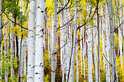 Aspen Trees Framed Prints - Uphill Framed Print by The Forests Edge Photography - Diane Sandoval