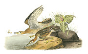 Shorebird Paintings - Upland Sandpiper by John James Audubon