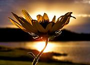 Flower Photo Posters - Uplifting Poster by Karen M Scovill