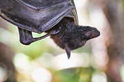 Bat Photos - Upside Down by Douglas Barnard