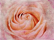 Rose Closeup Posters - Urban Bloom Poster by Elizabeth Budd