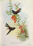 Hummingbird Paintings - Urochroa Bougieri by John Gould