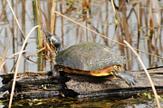 Yellow Slider Posters - Urtle The Turtle Poster by Kathy Gibbons