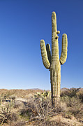 Y120907 Art - Usa, Arizona, Phoenix, Saguaro Cactus On Desert by Bryan Mullennix
