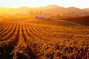Napa Valley Vineyard Prints - Usa, California, Napa Valley, Vineyards At Sunset Print by Cosmo Condina