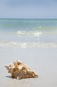 St Petersburg Florida Posters - Usa, Florida, St Petersburg, Conch Shell On Beach Poster by Vstock LLC
