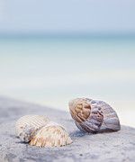 St Petersburg Florida Metal Prints - Usa, Florida, St Petersburg, Focus On Seashell On Beach Metal Print by Vstock LLC