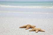 St Petersburg Florida Metal Prints - Usa, Florida, St Petersburg, Two Starfish On Sandy Beach Metal Print by Vstock LLC