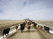 On The Plains Prints - Usa, Nebraska, Great Plains, Herd Of Cattle On Country Road Print by John Kelly