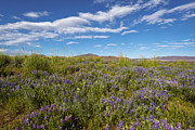 Color Purple Posters - Usa, Oregon, Harney County, Wildflowers In Meadow Poster by Gary Weathers
