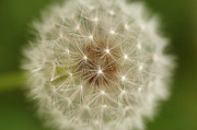 Y120907 Art - Usa, Pennsylvania, Close-up View Of Dandelion by Calysta Images