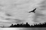 Negative Image Prints - Usa, San Francisco Harbour, California Gull In Flight (b&w) Print by Mark Oatney