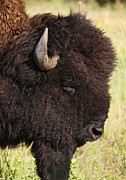 Bison Photos - Usa, South Dakota, American Bison (bison Bison) In Custer State Park, Headshot by Tetra Images