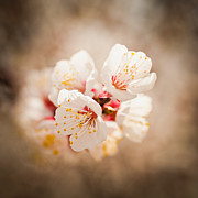 Y120907 Art - Usa, Utah, Lehi, Close-up Of Cherry Blossom by Mike Kemp