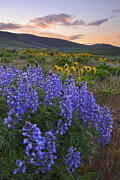 Y120907 Art - Usa, Washington, Dalles Mountain State Park, Landscape With Lupine Flower In Foreground by Gary Weathers