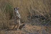 South Africa Prints - Using Its Tail, An Adult Meerkat Print by Mattias Klum